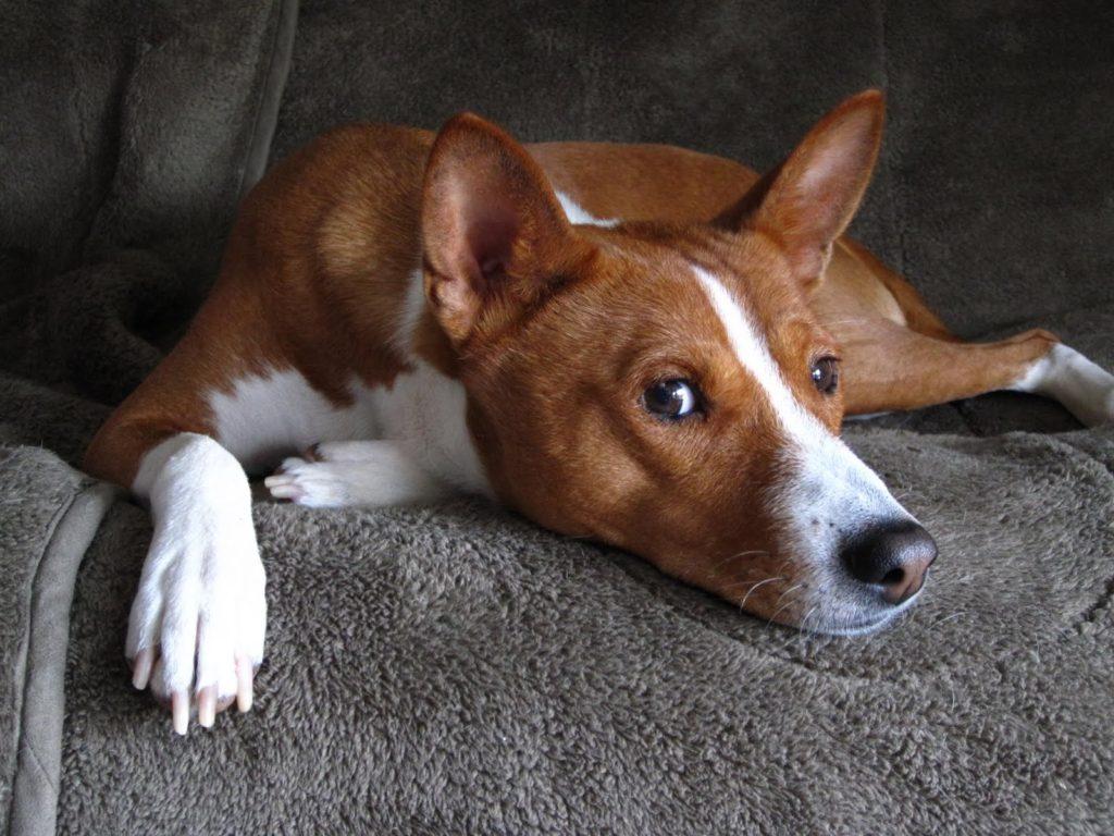 Басенджи — нелиняющая собака